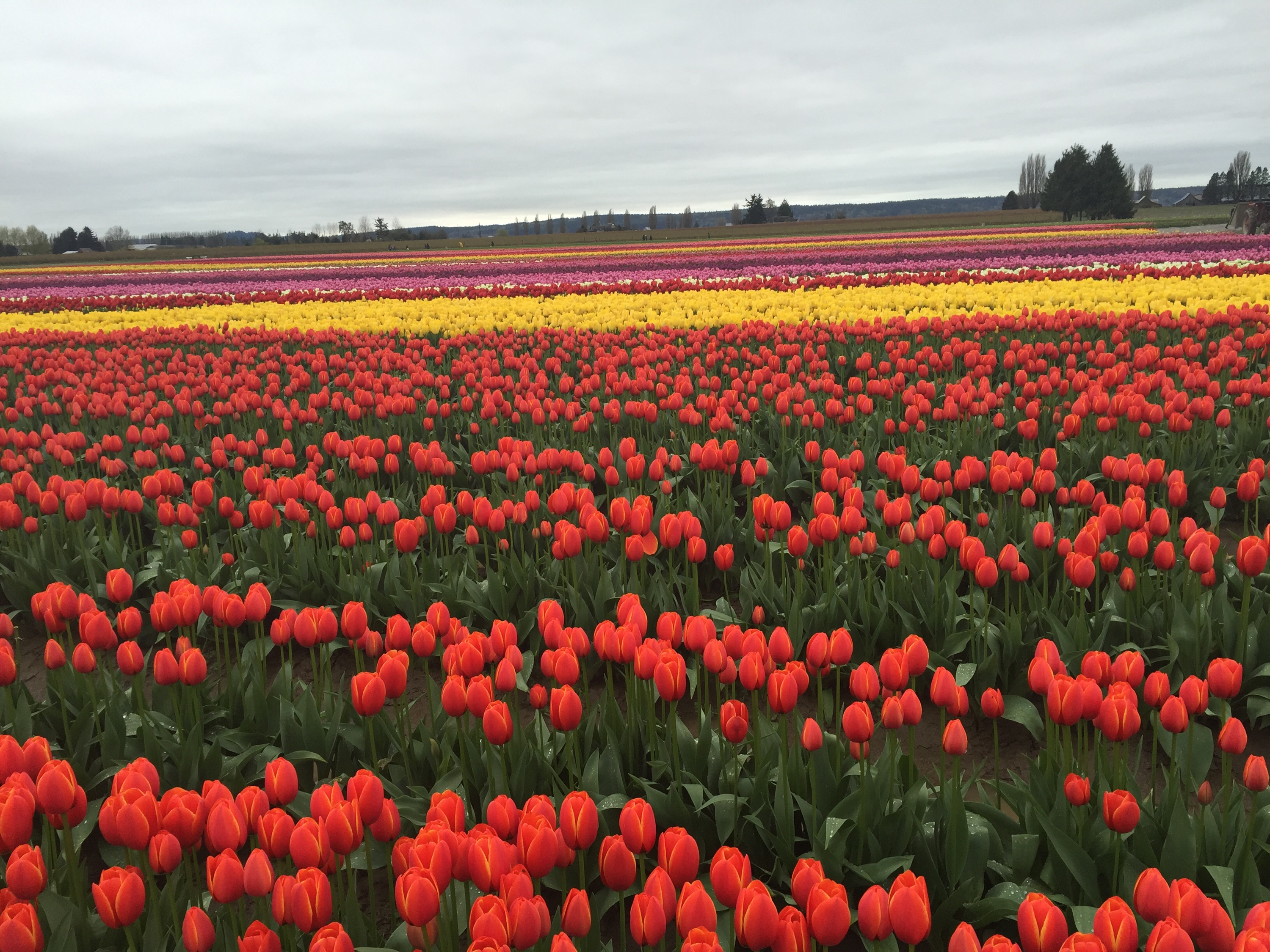 These Are Our Tulips Today >> Tulip Festival Renee Beauregard Lute